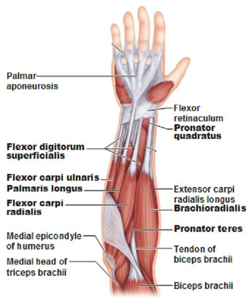 Name:  labeled_muscles_of_the_lower_arm_2.jpg Views: 16893 Size:  103.6 KB