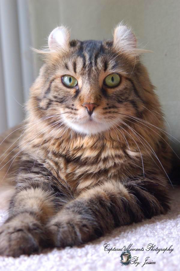 Highland lynx kitten - photo#28
