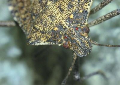 Name:  hh stink bug.jpg Views: 47 Size:  36.5 KB