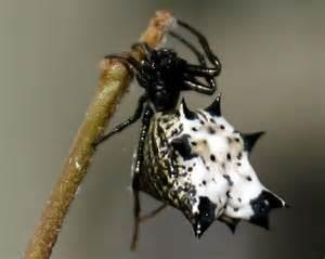 Name:  micrathena spider.jpg Views: 36 Size:  8.2 KB