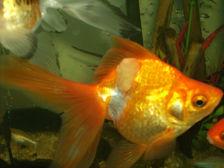 Ask me help desk growth under top fin of goldfish for White fungus on fish