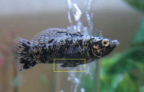 Do fish get fat for Molly fish babies