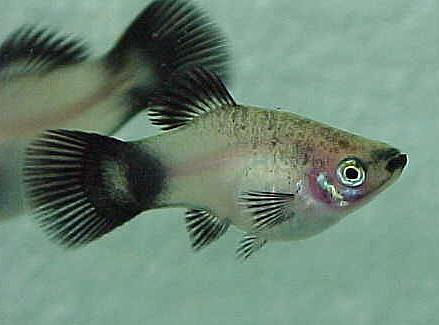 Pregnant platies girls get naked on cam for Platy fish breeding