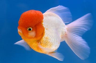Goldfish has white spot for Pesce oranda