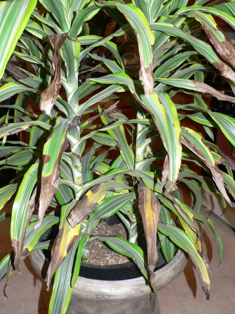 Dying dracaena deremensis 39 lemon lime 39 for Plante dracaena