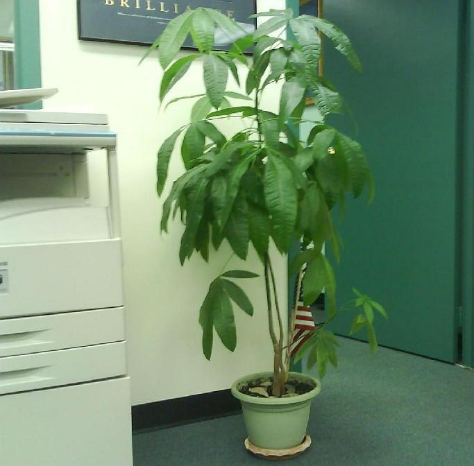 money plant tree. Money tree