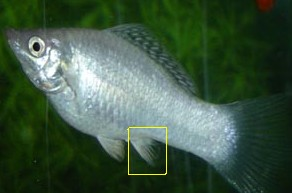 Sexing Mollies | Tropical Fish Forums Black Molly Fish Male Or Female